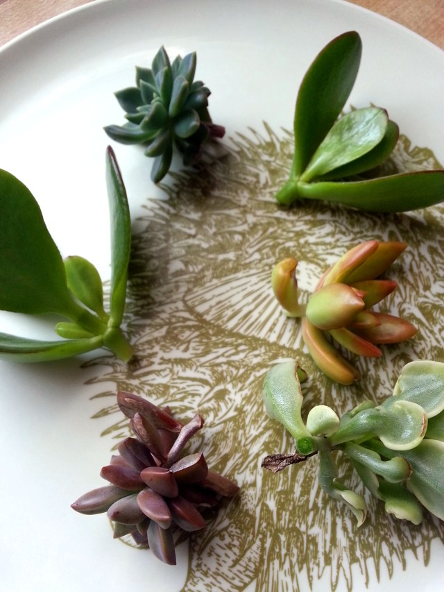 A Study in Succulent Propagation